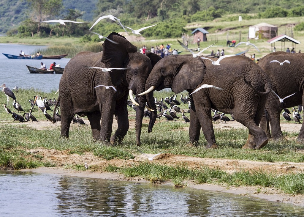 African elephants Queen Elizabeth National Park Uganda.jpg