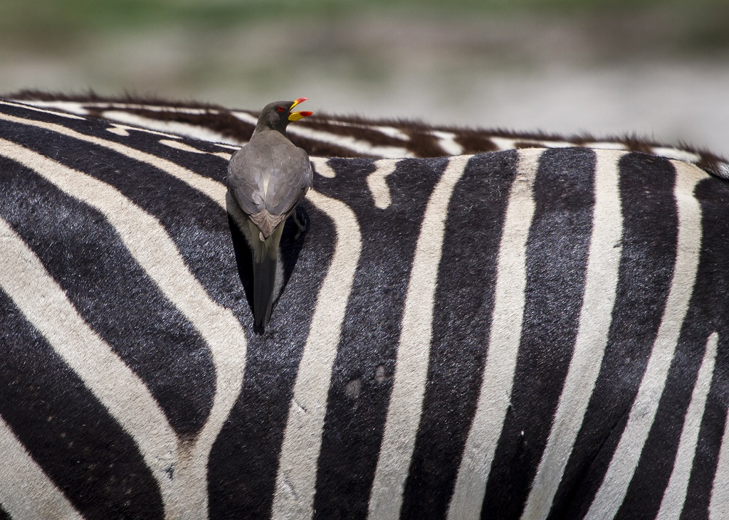 Bird on Zebra.jpg
