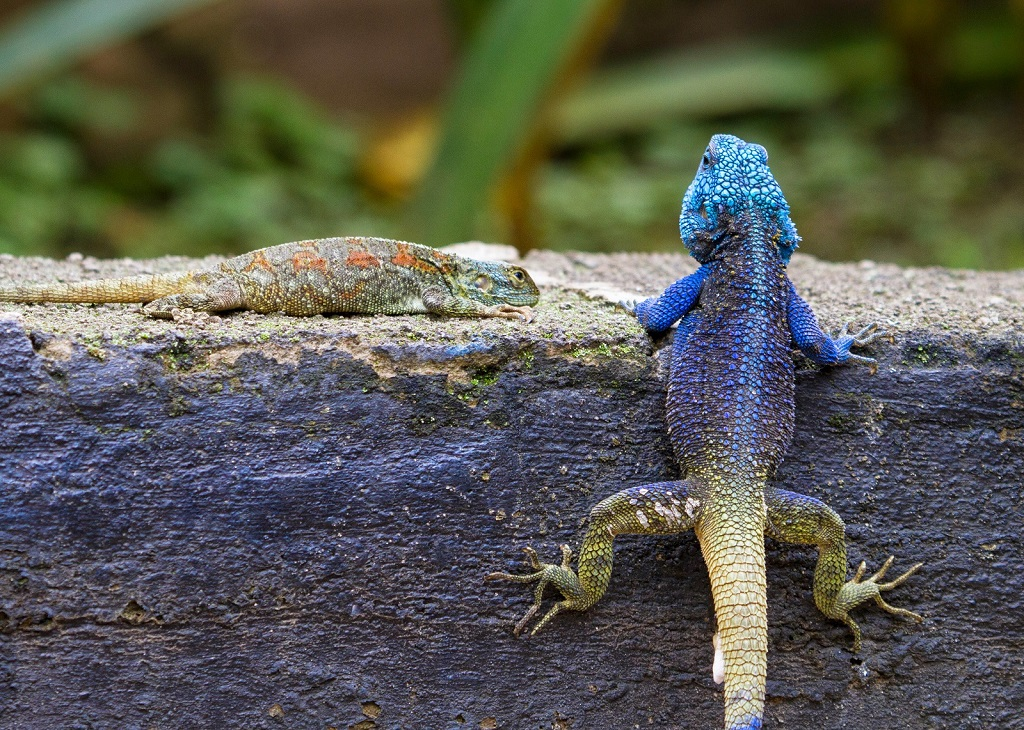 Blue headed tree-agama acanthocerus atricollis kibale forest-national park-Uganda.jpg