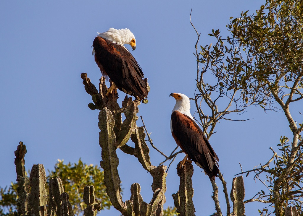Fsh eagle lake-mburo national-park Uganda.jpg
