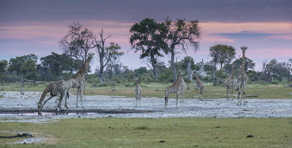 Giraffes at sunset okavango delta-Botswana.jpg