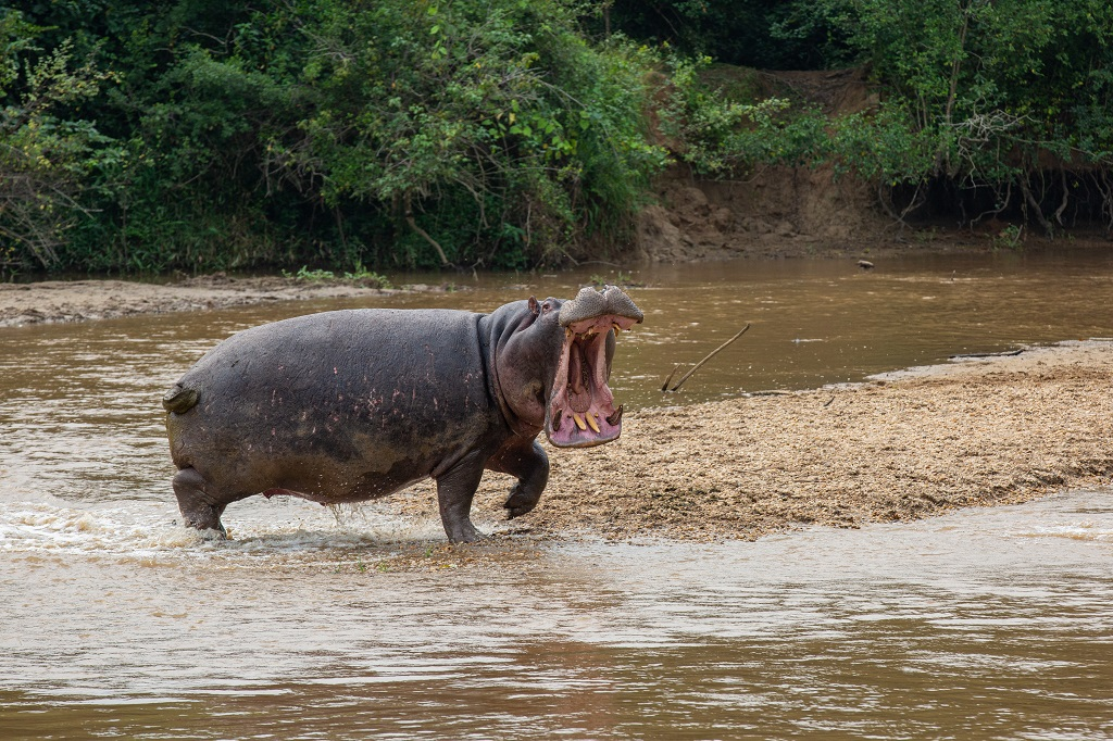 Hippo-queen-elizabeth-national-park-uganda.jpg
