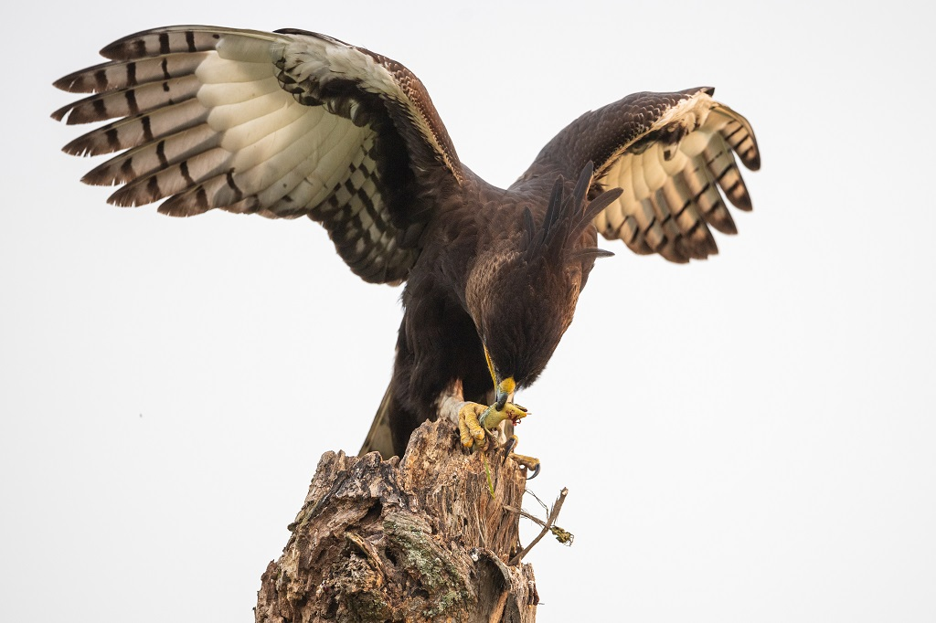 Long-crested-eagle-lophaetus-occipitalis-with-prey-23-queen-elizabeth-national-park-uganda.jpg