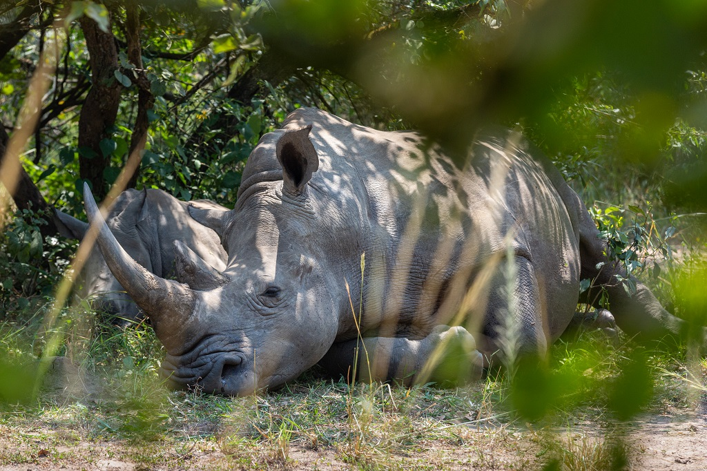 Mother-rhino-and-calf-sleeping-in-the-shade-ziwa-rhino-and-wildlife-ranch-uganda.jpg