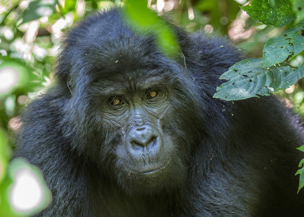 Mountain-gorilla-bwindi-impenetrable-forest-national-park-uganda (2).jpg