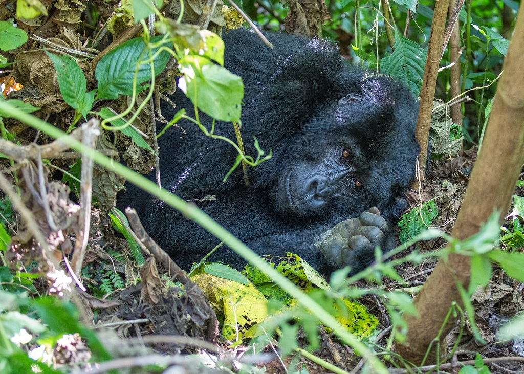 Mountain-gorilla-bwindi-impenetrable-forest-national-park-uganda.jpg