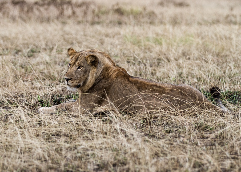 lion-queen-elizabeth-national-park-uganda_28357645313_o.jpg